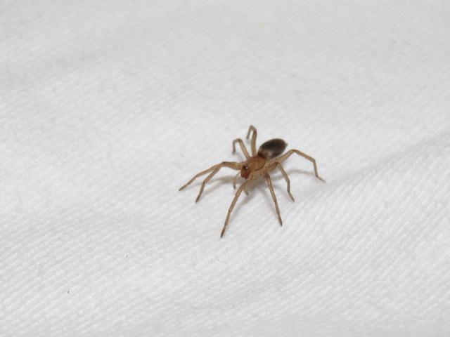 unbekannte spinne spinnen araneae bestimmen actias. Black Bedroom Furniture Sets. Home Design Ideas