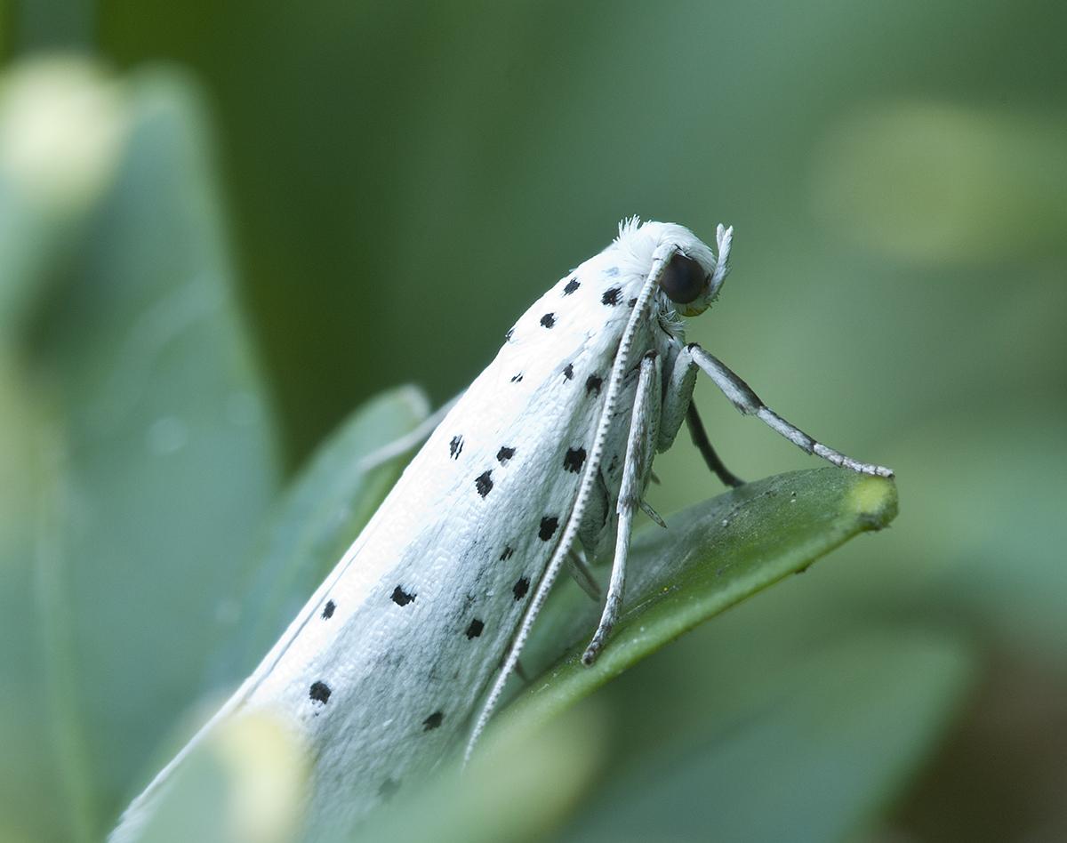 Kleiner Weisser Falter Mit Schwarzen Punkten Wie Heisst Er Identify Other Insects Actias