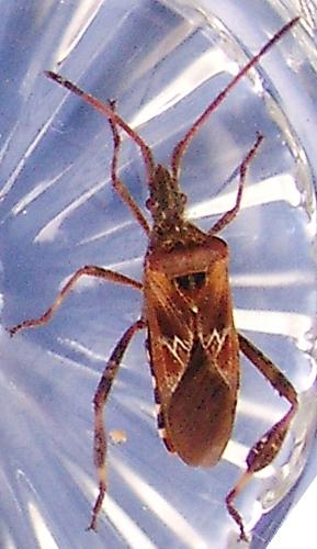 bockkaefer kaefer coleoptera bestimmen actias