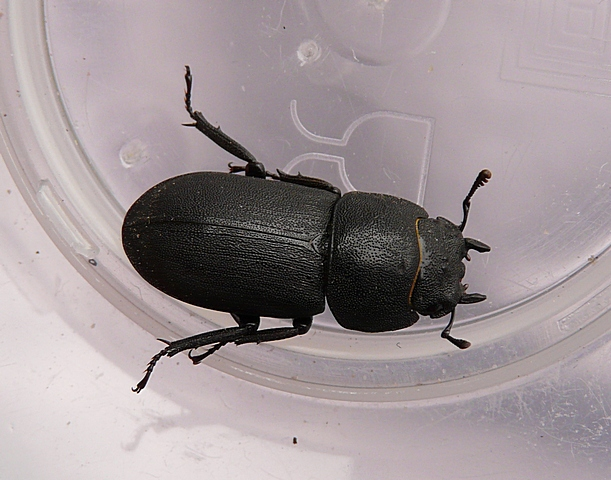 schwarzer k fer kennt ihn jemand identify a bug actias. Black Bedroom Furniture Sets. Home Design Ideas