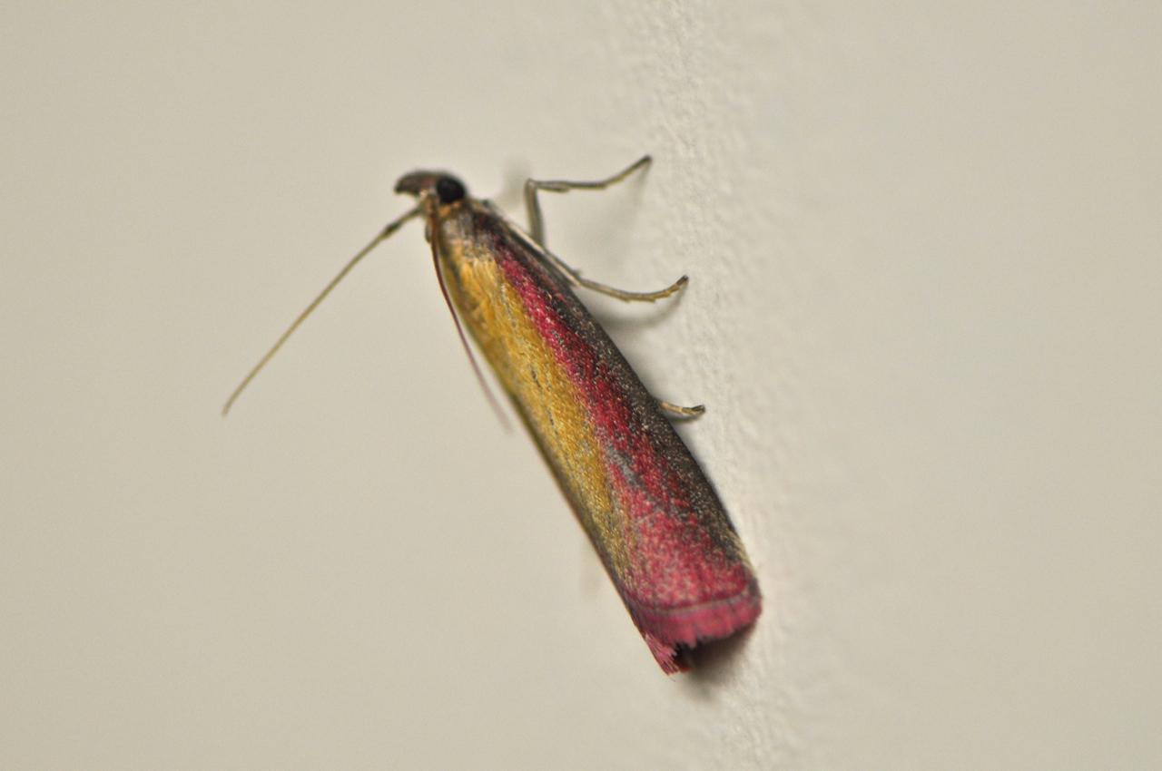 Motten Küche | Welche Motte Zunsler Wickler Identification Of Butterflies Actias