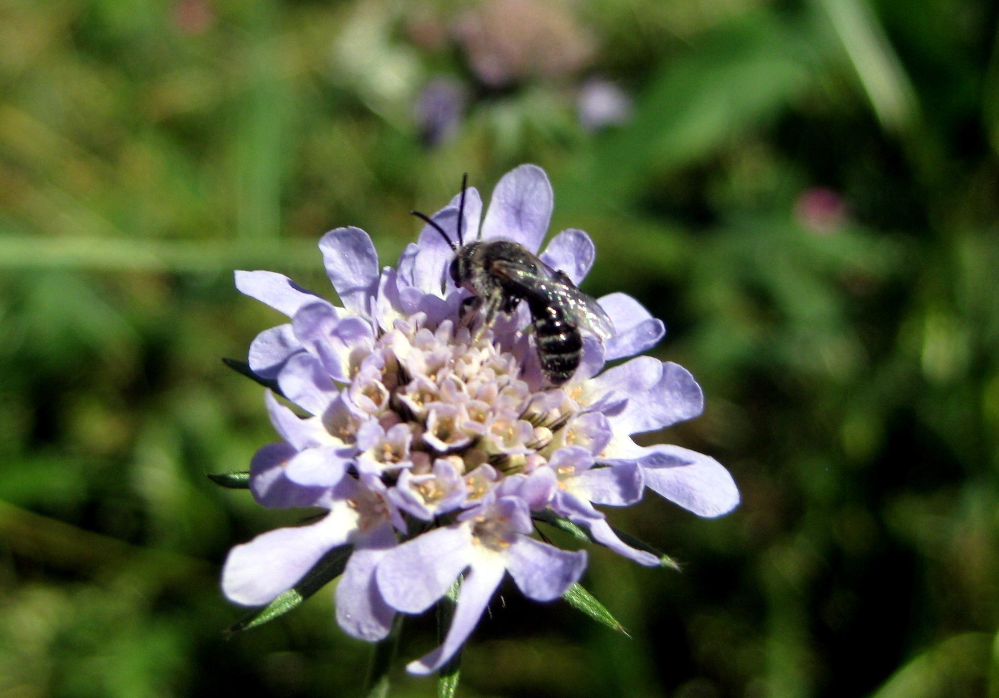 wer kann diese bienen wespen bestimmen bees apiformes humblebees bombinae wasps. Black Bedroom Furniture Sets. Home Design Ideas