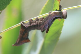 zwei zahnspinner jungraupen schmetterlinge lepidoptera bestimmen actias. Black Bedroom Furniture Sets. Home Design Ideas