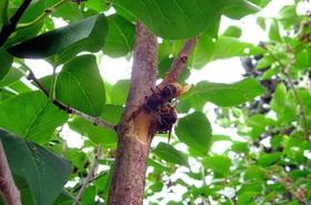 beobachtungen bei hornissen bienen apiformes hummeln bombinae wespen vespinae actias. Black Bedroom Furniture Sets. Home Design Ideas