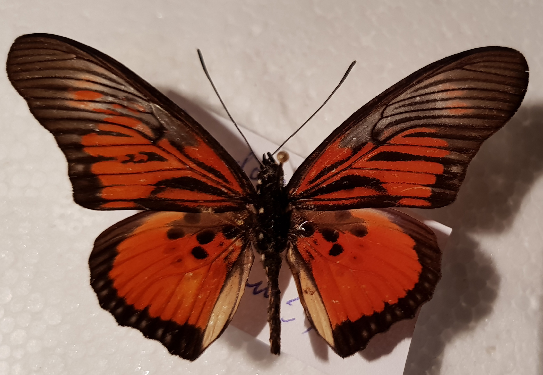 Pseudoacraea Clarki Identification Of Butterflies Actias