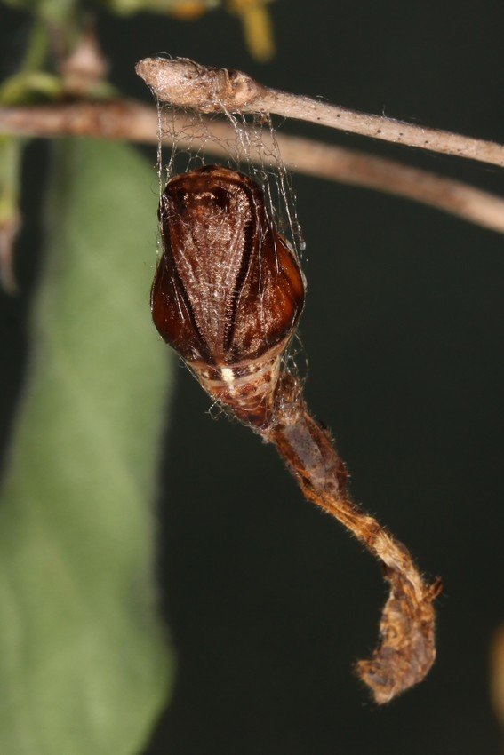 https://www.actias.de/easymedia/index.php?image-include/43735-apeira-syringaria/&random=1269913308&maxWidth=0&embedded=0&thumbnail=large