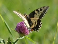 Schwalbenschwanz-Papilio machaon