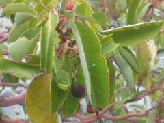 Charaxes jasius, Eierfund am Erdbeerbaum, Türkei/ Beldibi, Oktober 2017