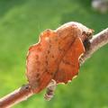 Phyllodesma tremulifolia - Kleine Eichenglucke