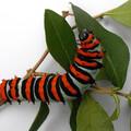 Rothschildia erycina erycina: L5 on 28 sept 2020 day 27