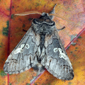 Diloba caeruleocephala - Blaukopf (male)
