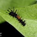 Citheronia aroa consorbia